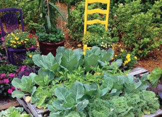 Grow Raised Bed Cabbage Cauliflower