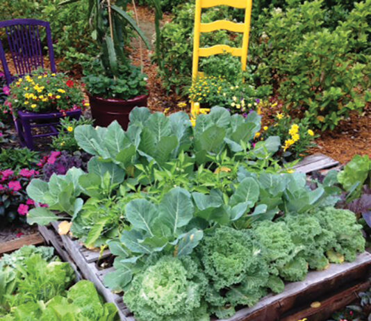 Grow Raised Bed Cabbage Cauliflower