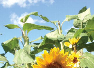 Sunflower Bloom J Mcconnell