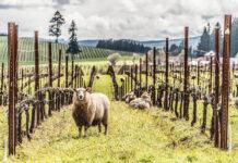 Sheep At King Estate
