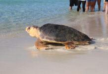 Turtle Release 7nov2019 Bean (39)