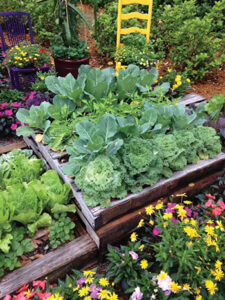 Growing Raised Bed Cabbage And Cauliflower J Mcconnell Ufifas
