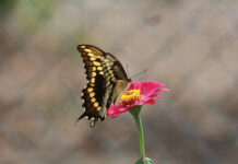 Eastern Swallowtail On Zinnia J Mcconnell Ufifas (3)